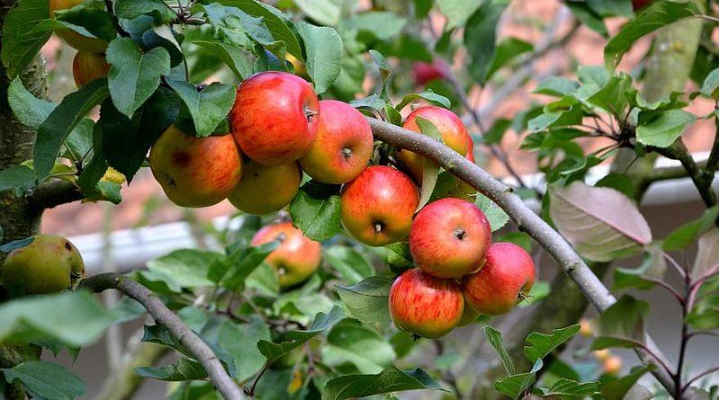 W jaki sposób pielęgnować krzewy owocowe