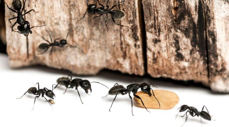 mrówki chodzące po domu